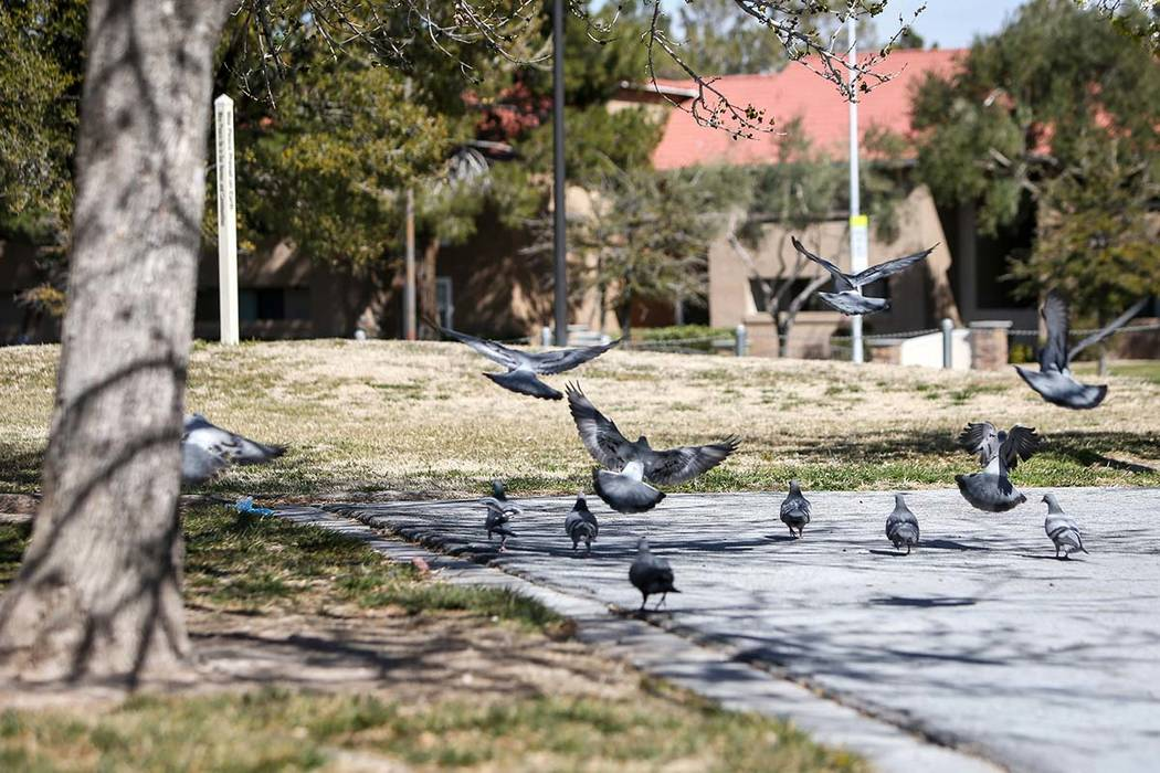 Pigeons fly around at Woofter Family Park in Las Vegas, Wednesday, Feb. 27, 2019. Warmer temperatures are headed for Las Vegas Valley, a sure sign that spring is here. (Caroline Brehman/Las Vegas ...