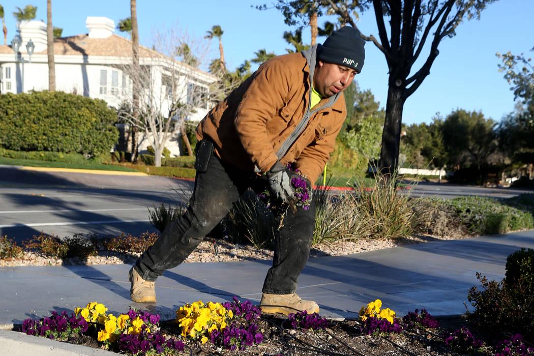 Paco Gomez of Par 3 Landscape & Maintenance cleans up a flower bed at Desert Shores Community Association in Las Vegas Wednesday, March 13, 2019. (K.M. Cannon/Las Vegas Review-Journal) @KMCann ...