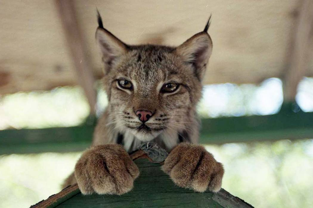 Animals at the Bonnie Springs petting zoo in 2008 include a bobcat, pygmy goats donated by Wayne Newton, a South American raccoon, deer, prairie dogs, burros, porcupines, turtles, a woodchuck, hed ...