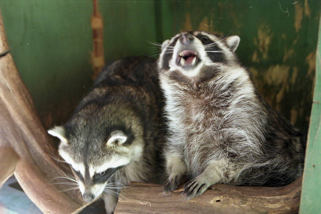 South American raccoons at the Bonnie Spring petting zoo in August 1997. (Las Vegas Review-Journal file)