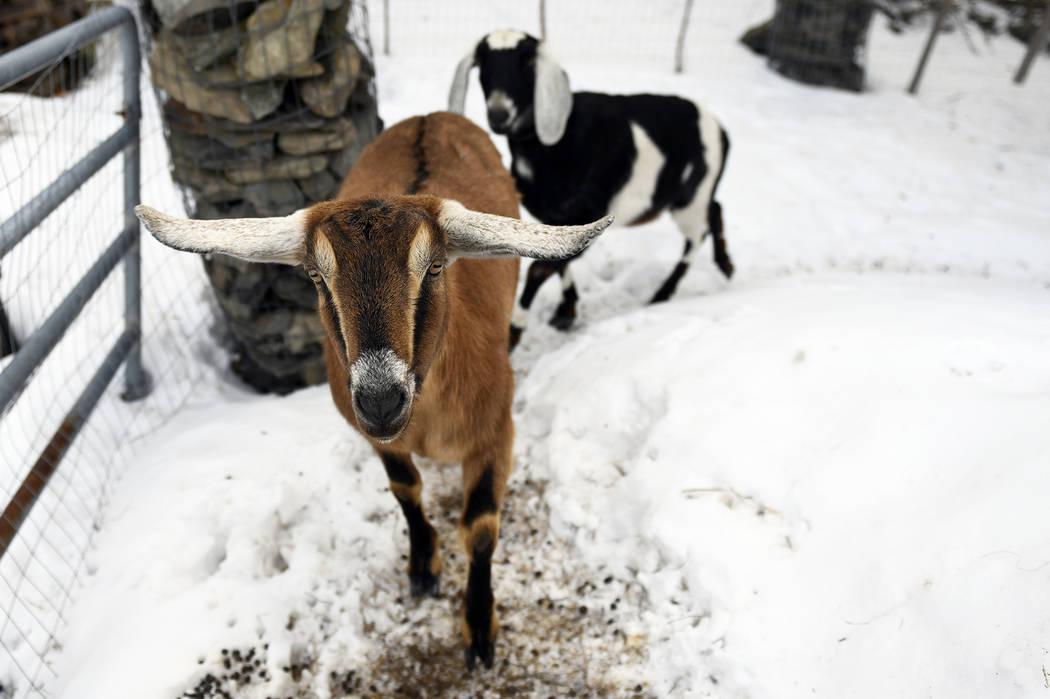 Goat sworn in as mayor of Vermont town | Las Vegas Review-Journal