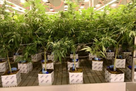 One of the marijuana grow rooms Exhale Nevada in Las Vegas Thursday, June 28, 2018. K.M. Cannon Las Vegas Review-Journal @KMCannonPhoto
