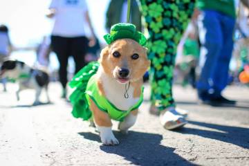 Sarah Benson, 19, walks her costumed corgi Betty Sue in the 53rd Annual Southern Nevada Sons & Daughters of Erin St. Patrick's Day parade in Henderson, Nev., on Saturday, March 16, 2019. Brett ...