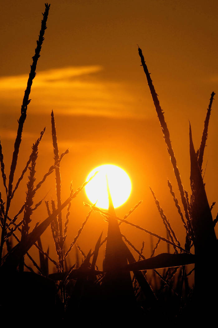 In this July 15, 2012 file photo, the sun rises over corn stalks in Pleasant Plains, Ill., during a drought. An AP data analysis of records from 1999-2019 shows that in weather stations across Ame ...