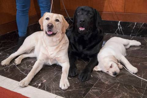 In this March 28, 2018 file photo, Labrador retrievers Soave, 2, left, and Hola, 10-months, pose for photographs as Harbor, 8-weeks, takes a nap during a news conference at the American Kennel Clu ...