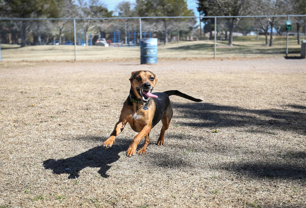 Weekend highs in the 70s will make perfect weather for Dargo to enjoy Woofter Family Park in Las Vegas. (Caroline Brehman/Las Vegas Review-Journal) @carolinebrehman