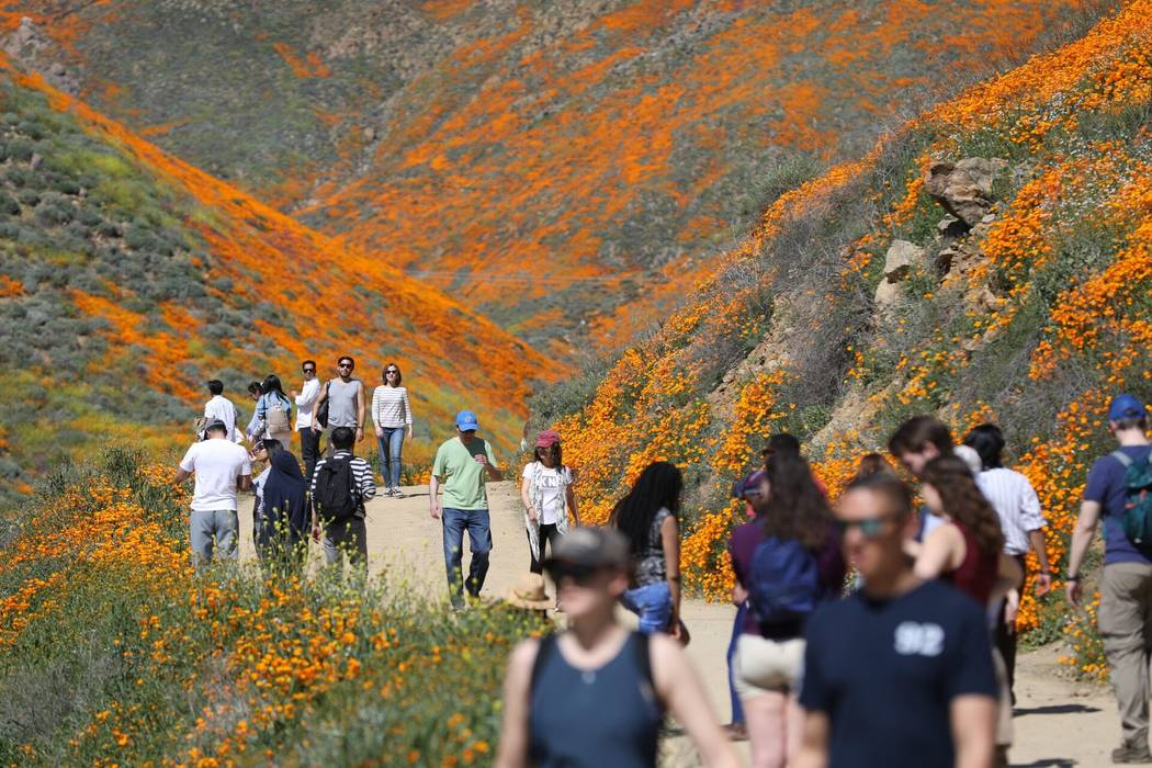 Visitors admire wildflowers in bloom in Lake Elsinore, Calif. (Todd Prince/Las Vegas Review-Journal)