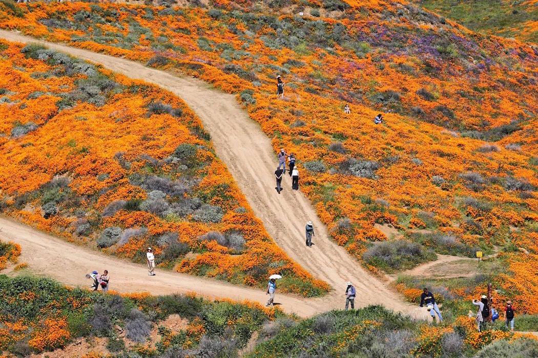 People walk among wildflowers in bloom in Lake Elsinore, Calif. (Todd Prince/Las Vegas Review-Journal)