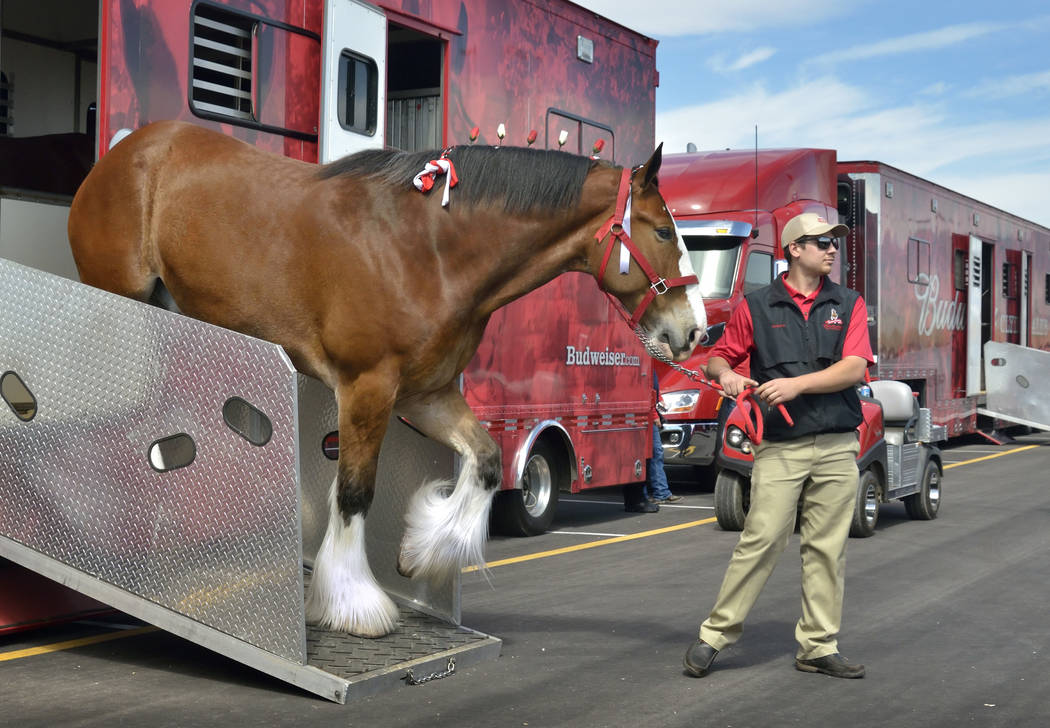 Handler Andrew LaCrosse leads a horse out of its trailer during a visit by the Budweiser Clydesdales to the Smith's Marketplace at 9710 W. Skye Canyon Park Drive in Las Vegas on Saturday, M ...