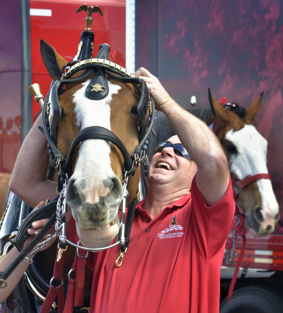 Handler and driver Todd Radermacher prepares a horse for hitching to the beer wagon during a visit by the Budweiser Clydesdales at the Smith's Marketplace at 9710 W. Skye Canyon Park Drive ...