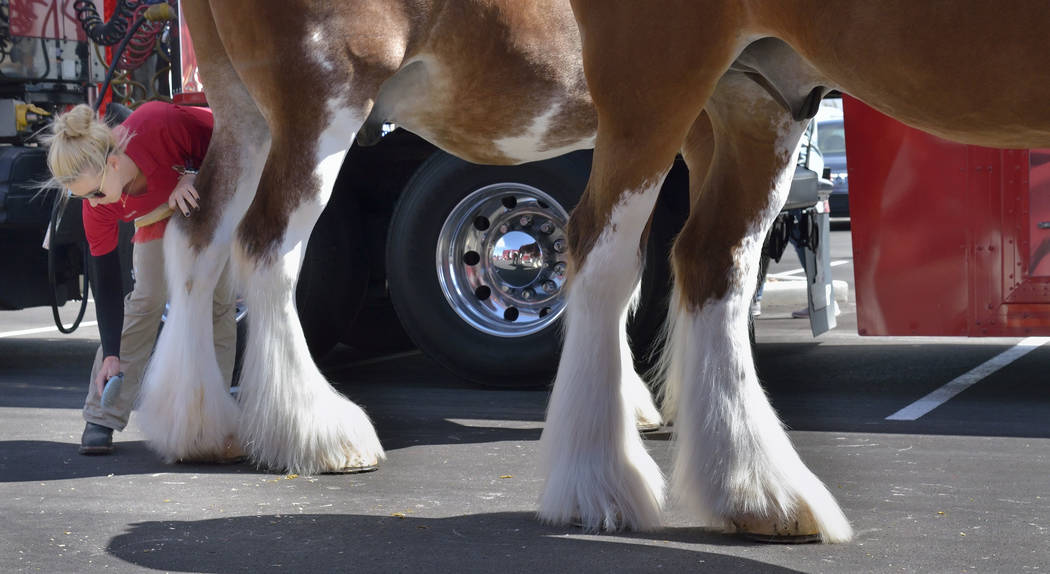 Handler Lauren Lambeth brushes a horse before it is hitched to the beer wagon during a visit by the Budweiser Clydesdales to the Smith's Marketplace at 9710 W. Skye Canyon Park Drive in Las ...