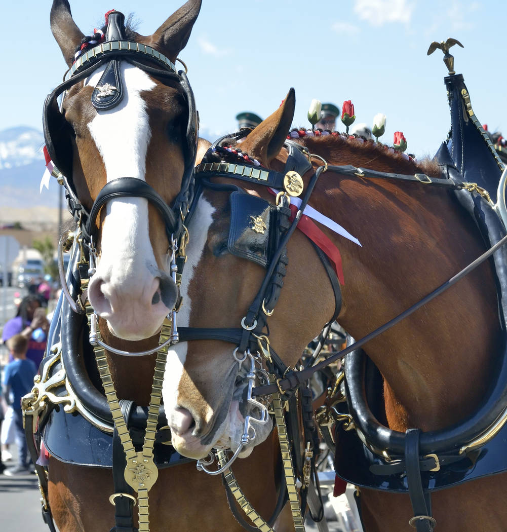 Budweiser Clydesdales are shown during a visit to the Smith's Marketplace at 9710 W. Skye Canyon Park Drive in Las Vegas on Saturday, March 23, 2019. (Bill Hughes/Las Vegas Review-Journal)