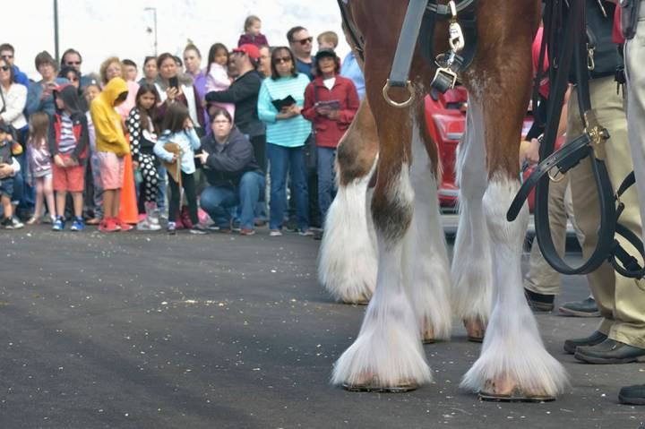 A crowd of people watches as a horse is prepared for hitching to the beer wagon during a visit by the Budweiser Clydesdales to the Smith's Marketplace at 9710 W. Skye Canyon Park Drive in L ...