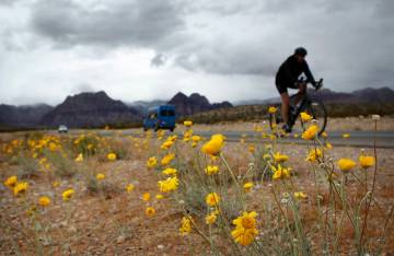 A cyclist braves the cold weather while riding past some spring wildflowers on state Route 159 in Red Rock Canyon National Conservation Area west of Las Vegas on April 2, 2014. (Jason Bean/Las Veg ...