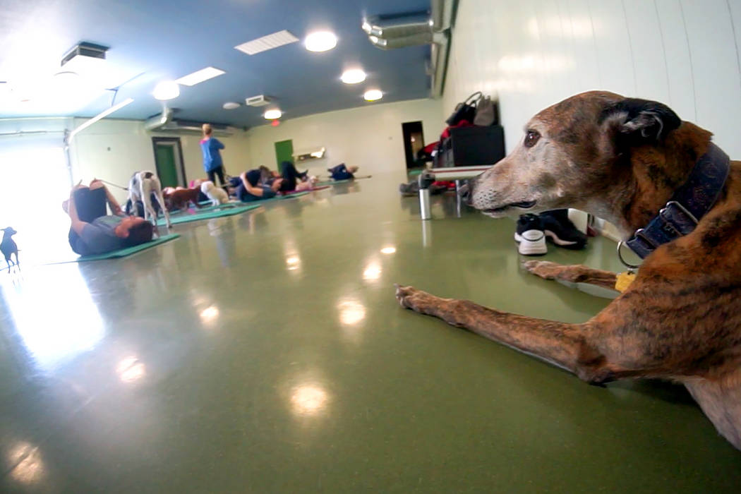 The Hydrant Club in downtown Las Vegas, is a social club for dogs and their people. Recently the club started hosting dog yoga. (Mat Luschek/Review-Journal)