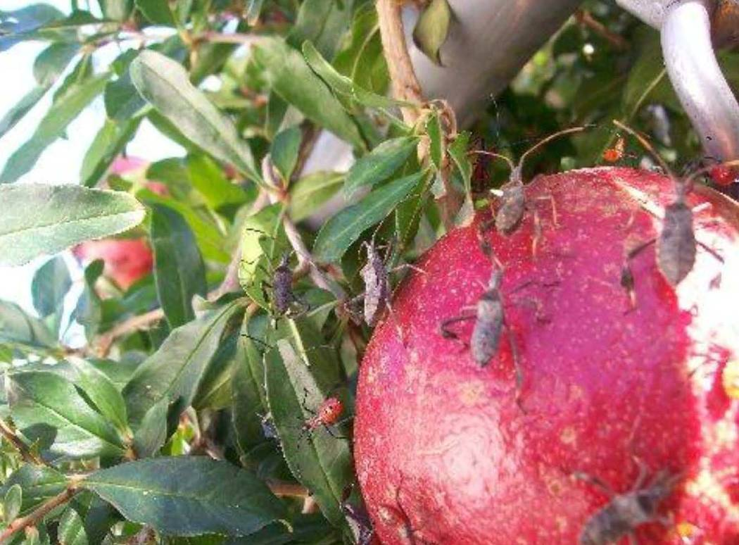 Leaf-footed bugs usually start attacking pomegranate and tomato when there is new growth and yo ...