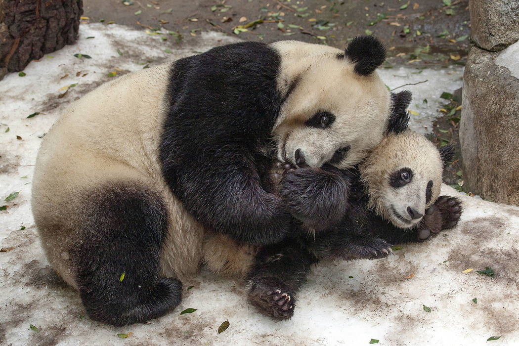 This undated photo provided by San Diego Zoo Global shows giant pandas Bai Yun, a 27-year-old female, and her son, 6-year-old Xiao Liwu, at the San Diego Zoo in San Diego. In honoring the terms of ...