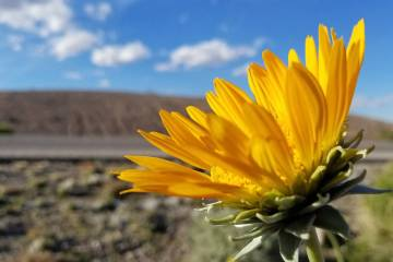 Rare yellow silverleaf sunrays bloom just east of the Lake Mead Parkway entrance station at Lak ...
