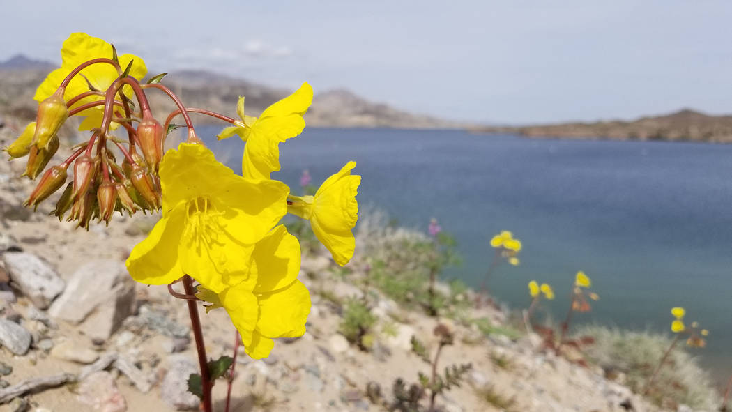 Evening primrose is seen above Lake Mohave in early March; darker purple Mojave lupine and ligh ...