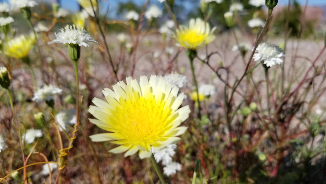 Desert dandelions and Fremont pincushions are seen March 29 at the Lake Mead entrance station c ...