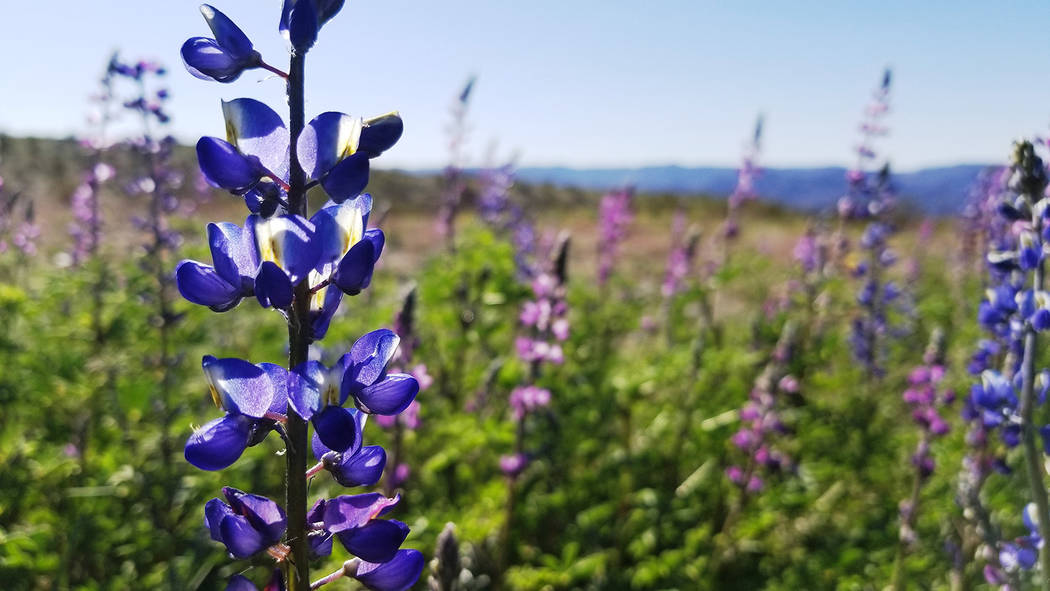 Darker purple Mojave lupine and lighter Arizona lupine are seen near the entrance station to Wi ...