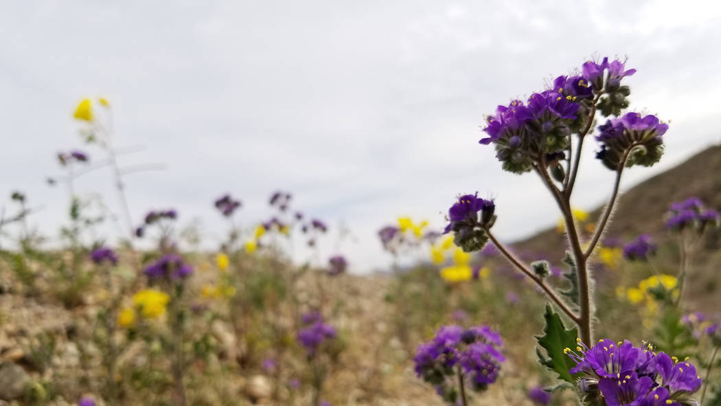 Phacelia and evening primrose are seen at Lake Mohave. (Natalie Burt)