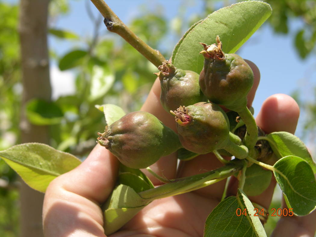 Fruit thinning or removing excessive amounts of fruit increases the size of the remaining fruit ...