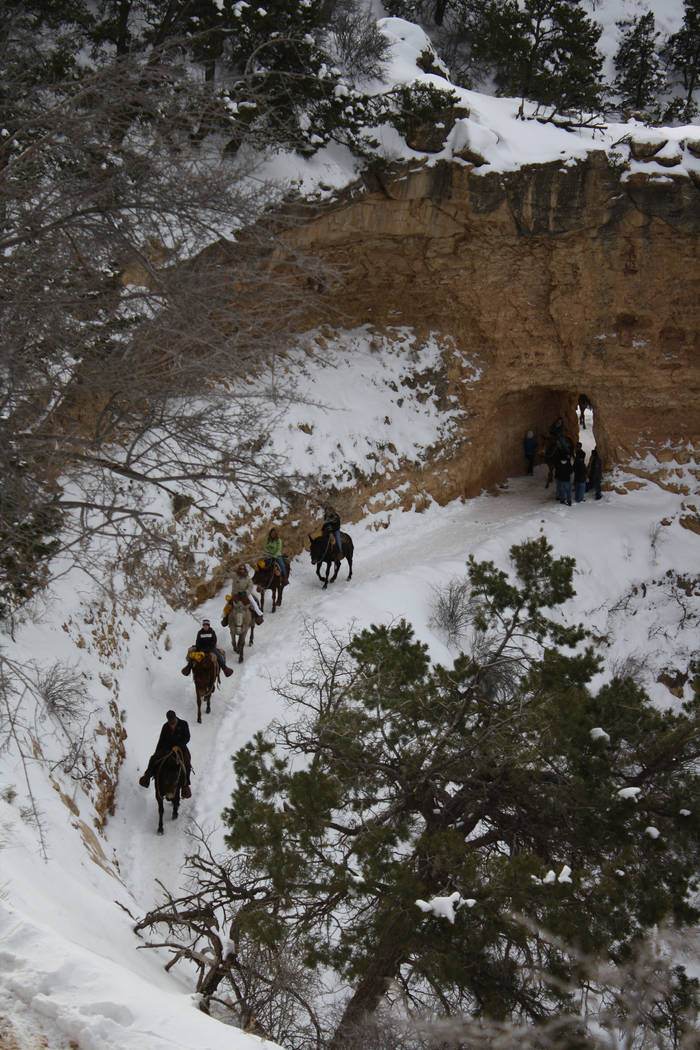 Wrangler-led mule trains are a very popular way to travel along the Bright Angel Trail in Grand ...