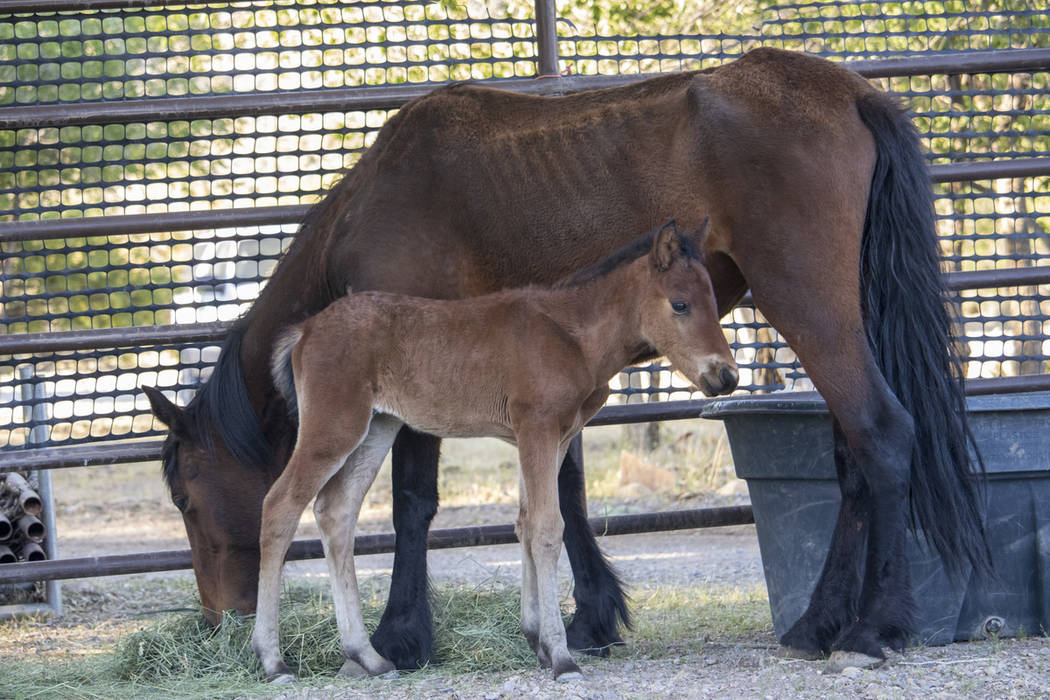 Wild horses feed at a temporary holding facility at Oliver Ranch in Red Rock Canyon Saturday af ...