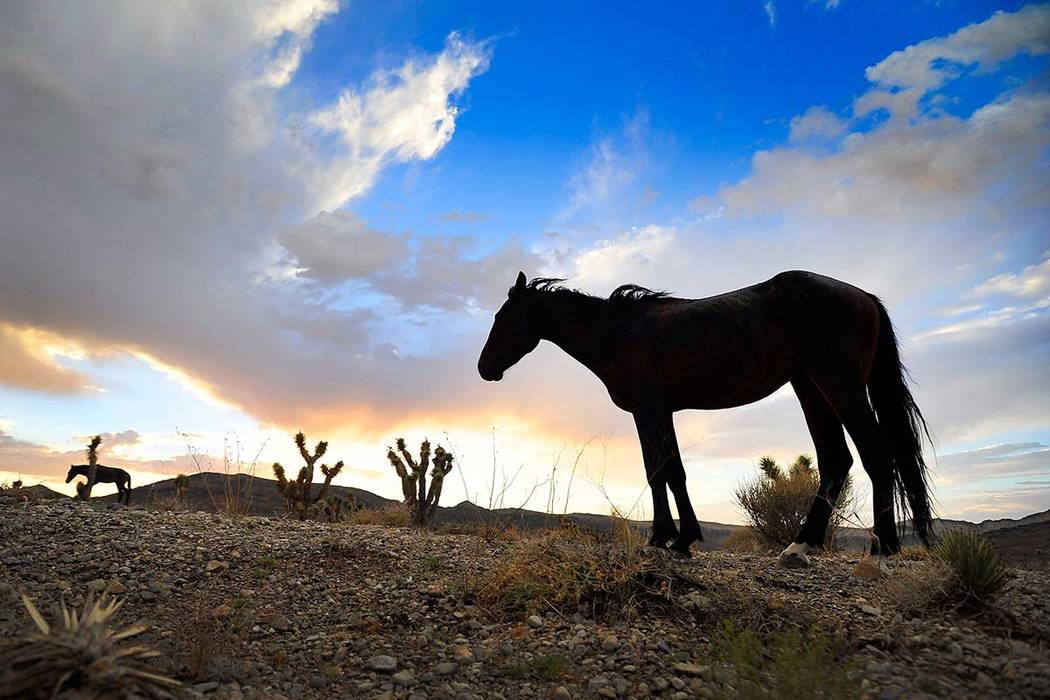 Free-roaming horses graze under stormy skies in the Spring Mountains near Cold Creek on Sunday, ...