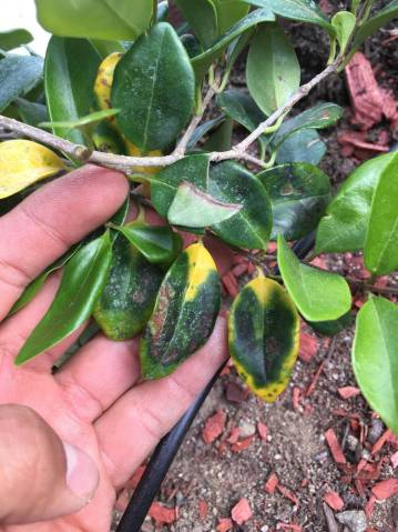 Yellow leaves on recently planted waxleaf privet could be the result of a harsh climate, harsh ...