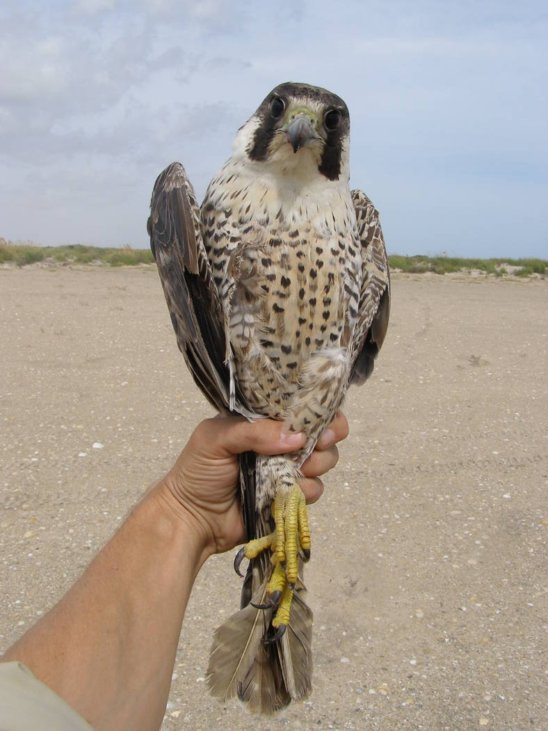 Biologist Joe Barnes holds a 2-year-old female peregrine falcon on South Padre Island in Texas ...