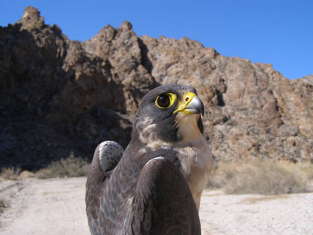 An adult male peregrine falcon is photographed after being captured in Southern Nevada in 2012. ...