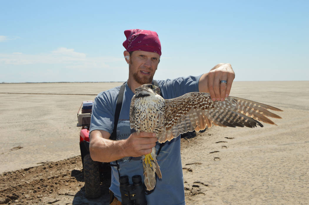 Biologist Joe Barnes assesses the plumage of a 2-year-old peregrine falcon on South Padre Islan ...