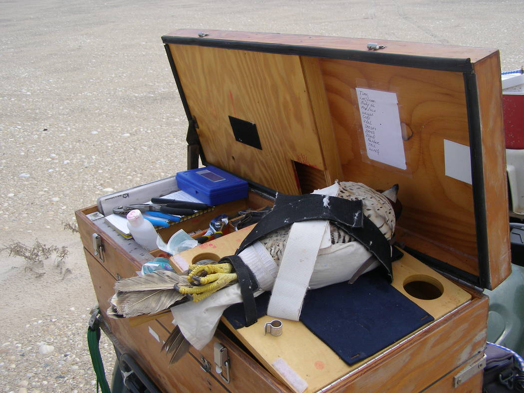 A female peregrine falcon waits to be examined on amobile sampling station mounted to the ...