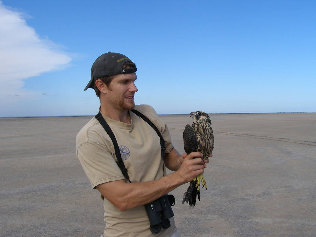 Biologist Joe Barnes holds a young female peregrine falcon he just captured on South Padre Isla ...