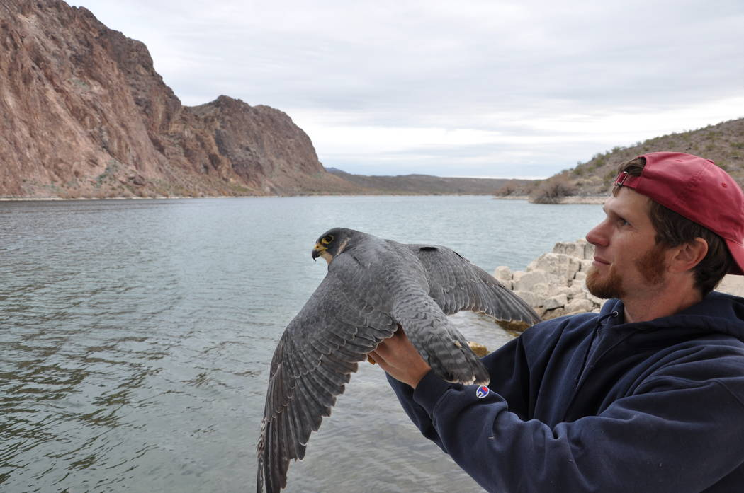 Nevada biologist Joe Barnes prepares to release a banned female peregrine falcon at Lake Mohave ...