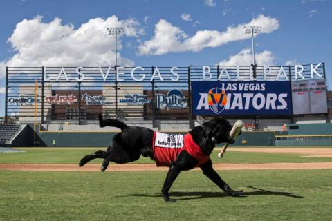 Finn, a 5-year-old black lab, retrieves a bat at Aviators media day at Las Vegas Ballpark on Tu ...