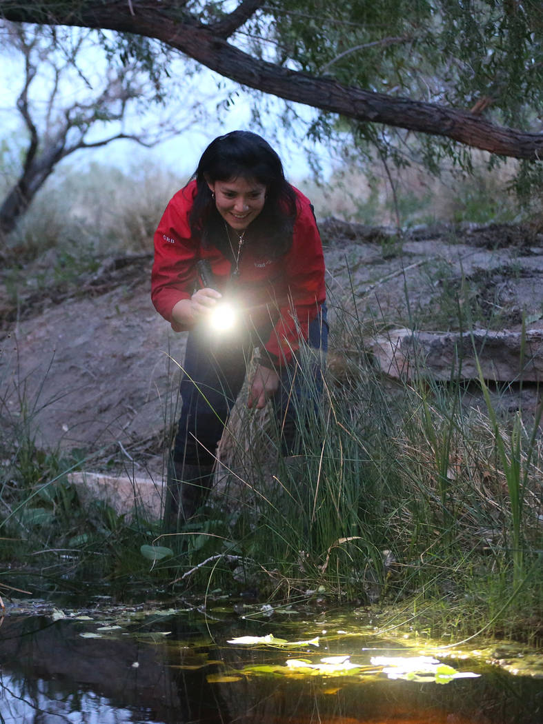 Rebeca Rivera, research assistant at UNLV, searches for adult relict leopard frogs at the Cotto ...