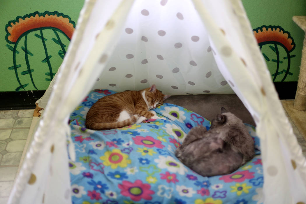Cats sleep in the Cat Condo area at the Nevada Society for the Prevention of Cruelty of Animals ...