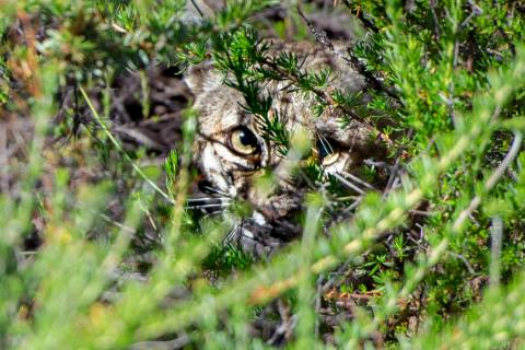 A bobcat takes cover under brush after being released in Laguna Coast Wilderness Park on Saturd ...