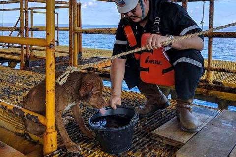 In this Friday, April 12, 2019, photo, a dog is taken care by an oil rig crew after being rescu ...