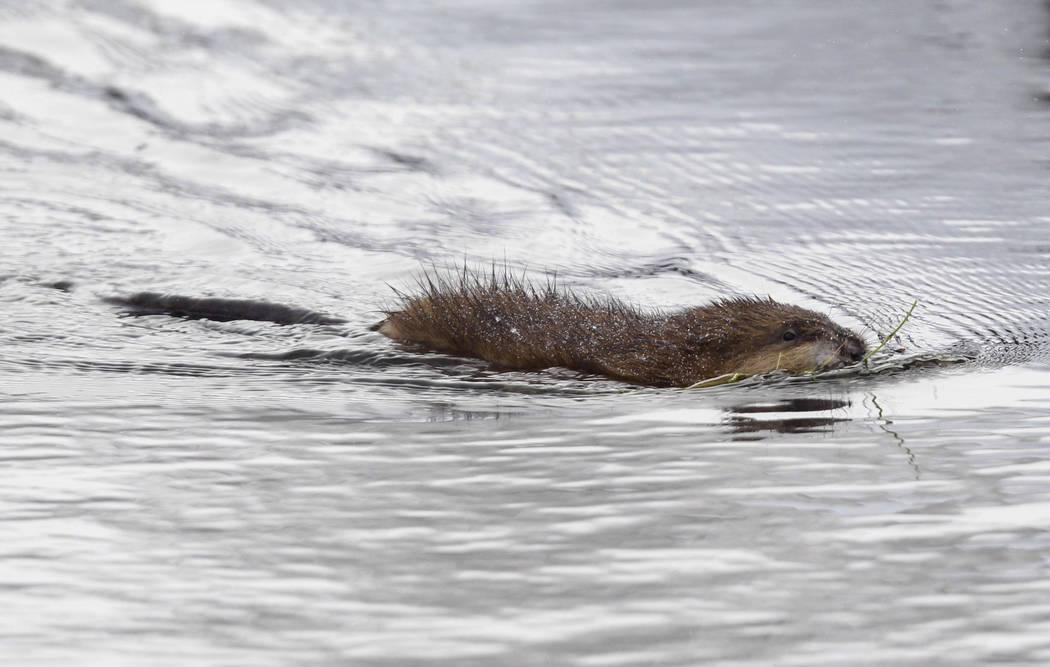 FILE - In this Dec. 14, 2010, photo, a muskrat swims in a pond near Buffalo, N.Y. Roman Catholi ...