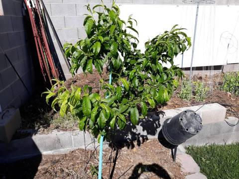 Yellowing leaves can be from watering the fruit tree too often or poor soil drainage or both. ( ...