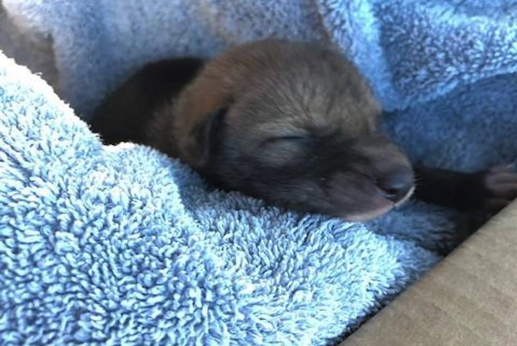 """An """"abandoned puppy"""" turned out to be a coyote. (San Diego Humane Society)"""