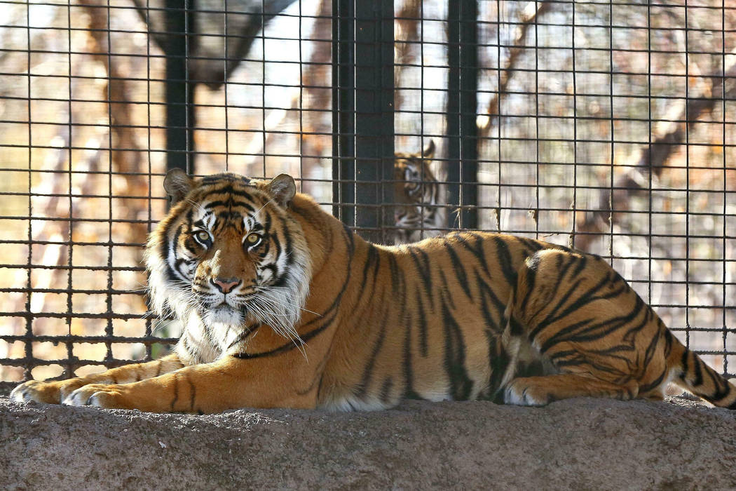 This Nov. 2018 file photo shows Sanjiv, a Sumatran tiger at the Topeka Zoo in Topeka, Kansas. ...