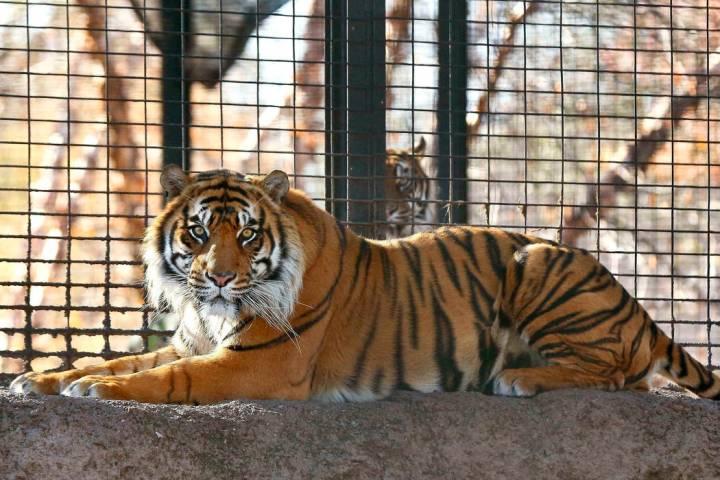 This Nov. 2018 file photo shows Sanjiv, a Sumatran tiger at the Topeka Zoo in Topeka, Kansas. ...