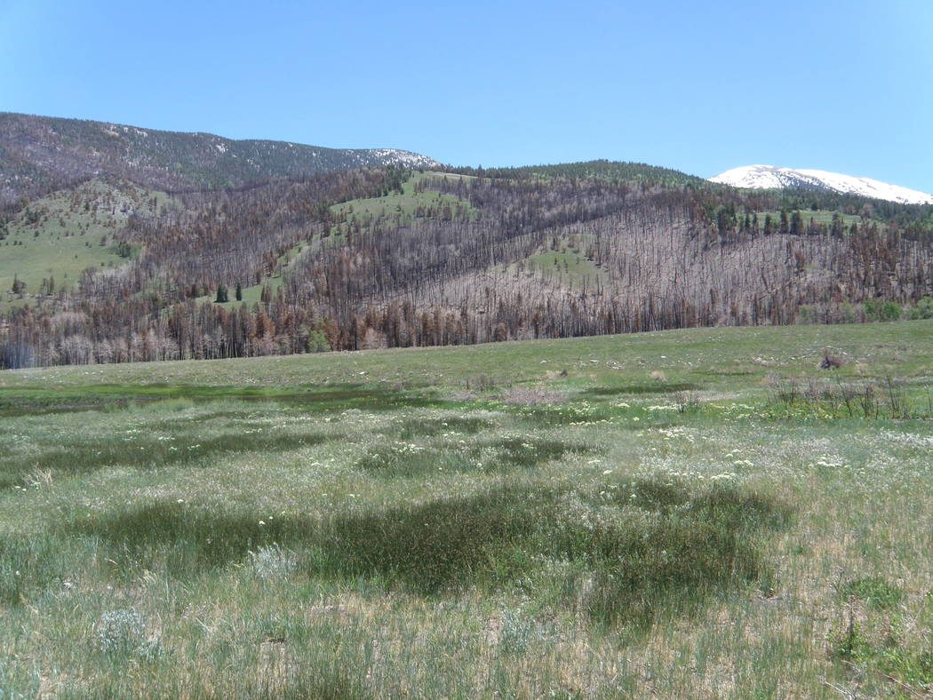 A meadow grows green near Strawberry Creek in June 2017, less than a year after a wildfire burn ...