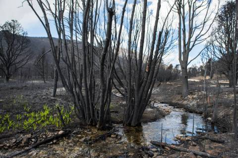 Grass grows next to Strawberry Creek in an area damaged by the Strawberry Fire in Bureau of Lan ...