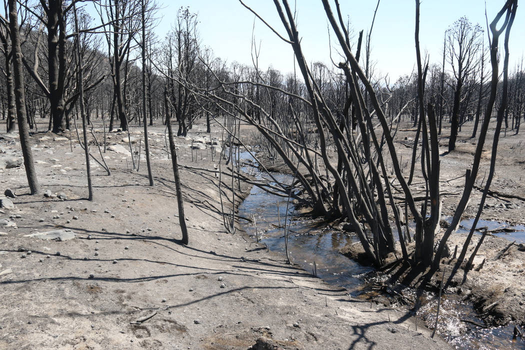 Strawberry Creek winds through a burned forest Thursday at Great Basin National Park, 300 miles ...